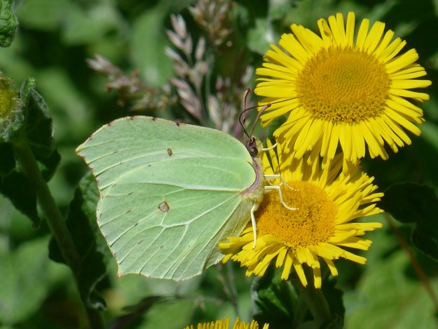 View of a greenish yellow butterfly nectaring on a yellow flower