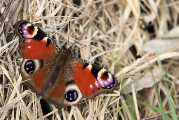 View of a resting red butterfly with black, brown, blue and creamy white markings