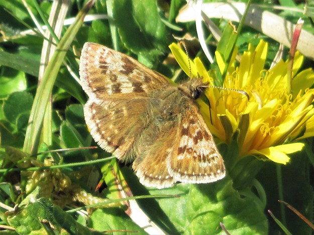 A brown butterfly with pale markings nectaring on a yellow flower