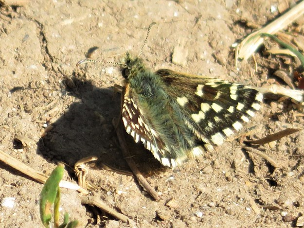 A blackish brown butterfly with white markings resting on the ground