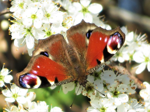 A red butterfly with black, brown, creamy white and blue markings nectaring on white Blackthorn flowers