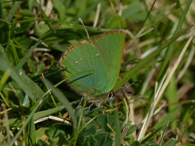 A green butterfly resting in green vegetation
