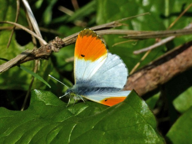 A white butterfly with orange tips to the wings resting on a green leaf