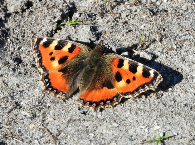An orange butterfly with black, brown, yellow and blue markings
