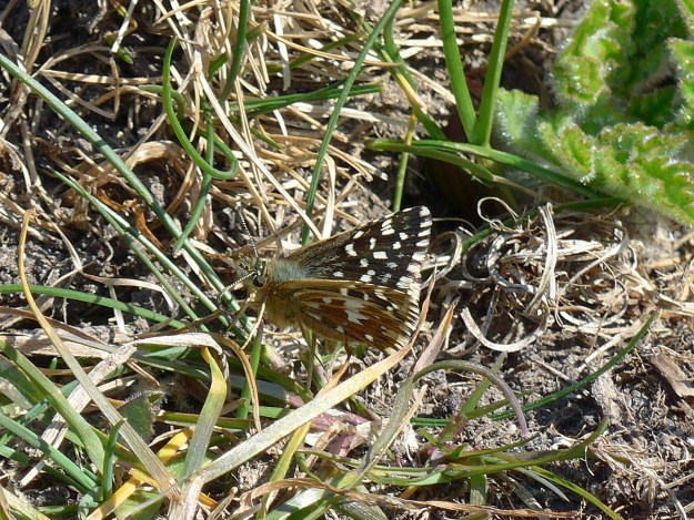 A dark brown butterfly with white markings resting amongst some vegetation