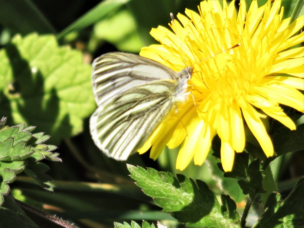A white butterfly with greenish markings nectaring on a yellow flower