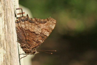 Side view of butterly with dark and lighter brown areas