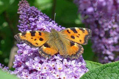 Orange Butterfly with dark markigns on a buddleia flower