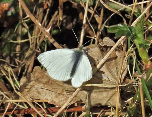 A white butterfly with greyish veins and wing tips resting on a brown leaf