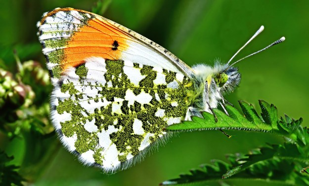 A white butterfly with green and orange markings resting on a green leaf