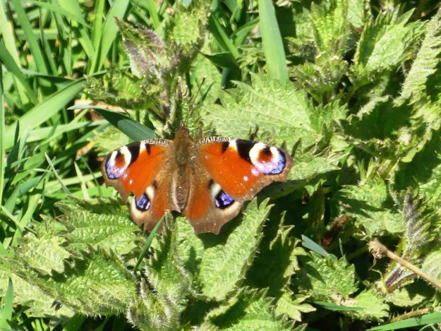 A red butterfly with black, brown, creamy white and blue markings resting on green leaves