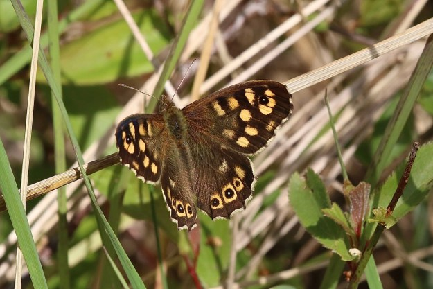 A chocolate brown butterfly with creamy yellow and black markings resting amongst some vegetation