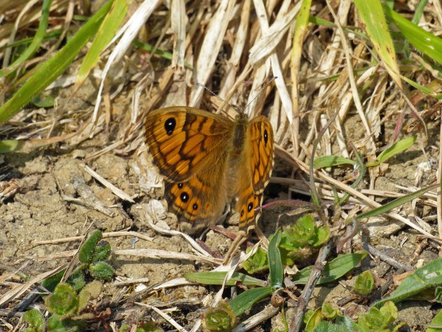 A resting orange butterfly with brown, black and white markings