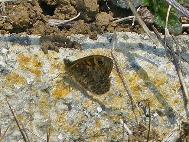 A resting brownish and orange  butterfly with some lighter markings