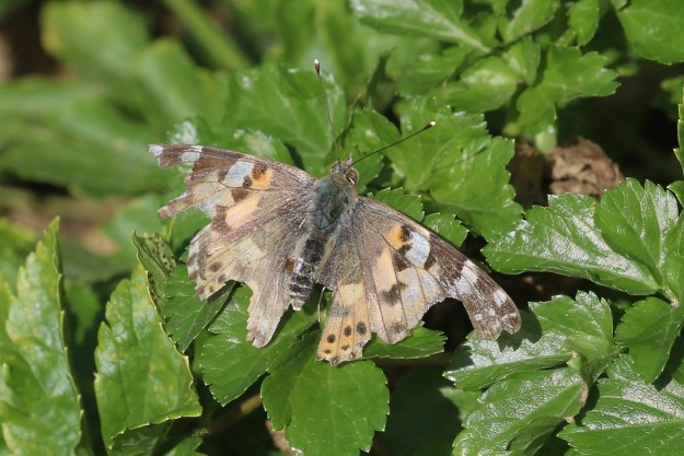 A rather tatty orange butterfly with brown and white markings resting on a green leaf