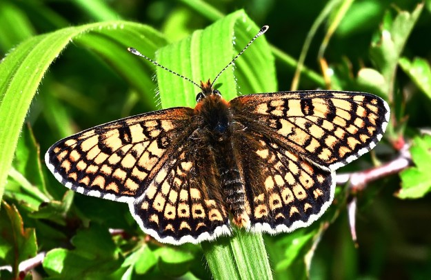 Top view of a butterfly with complex pale orange and cream markings