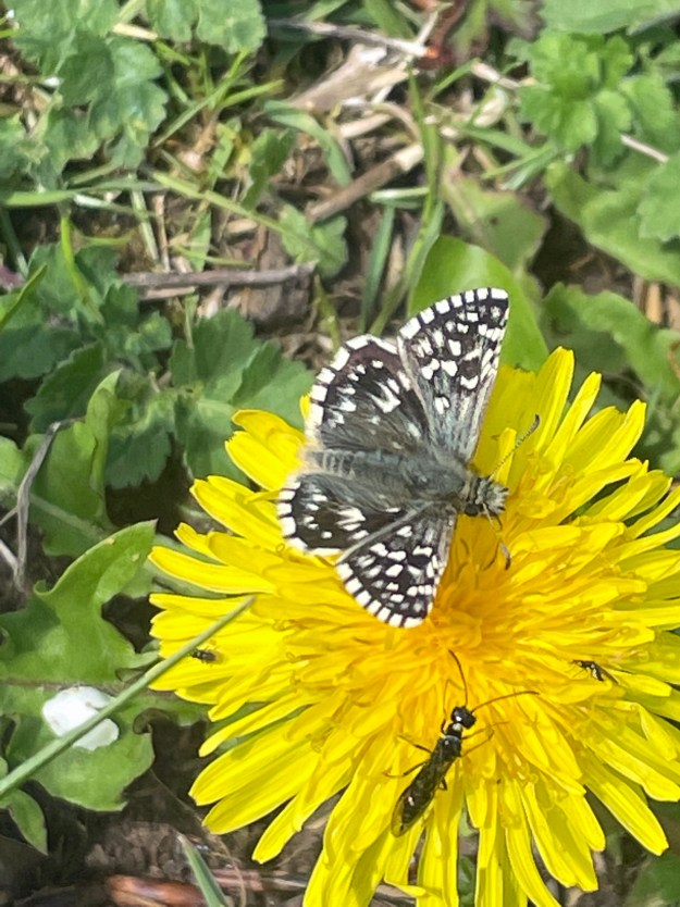 View of a blackish butterfly with white markings resting on a yellow flower