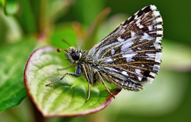 A dark brown butterfly with white markings resting on a green leaf