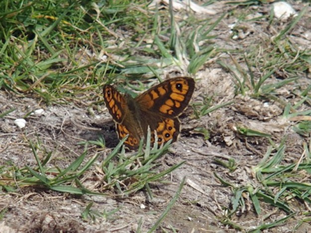 An orenge butterfly with black markings resting on the ground