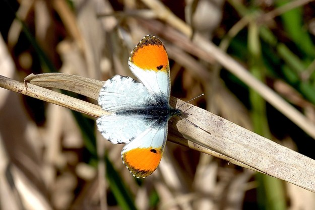 A resting white butterfly with orange wing tips
