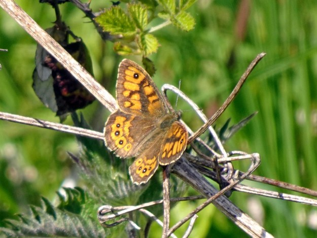 An orange butterfly with brown, black and white markings resting on some vegetation
