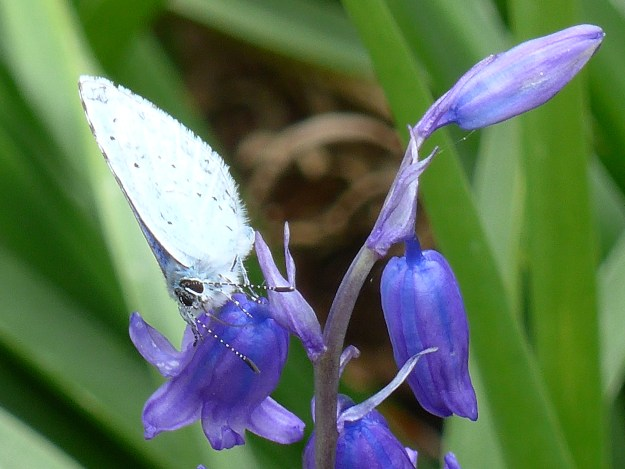 A pale silvery blue butterfly with some black spots nectaring on a blue flower