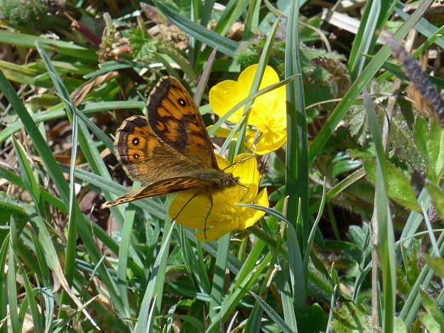 An orange butterfly with brown, black and white markings nectaring on a yellow flower
