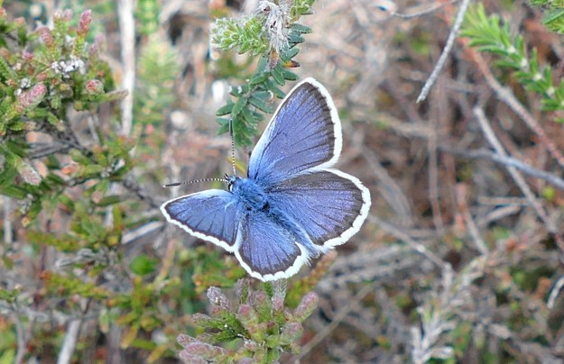 A blue butterfly with a black border and white fringe to the wings