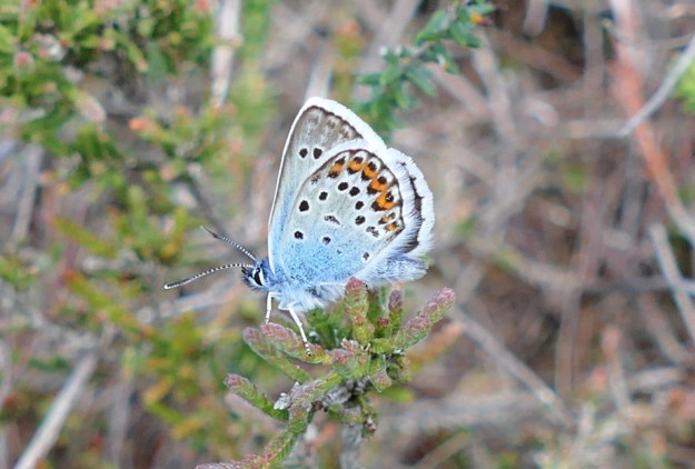 A blue butterfly with black, orange and white markings and a white fringe to the wings