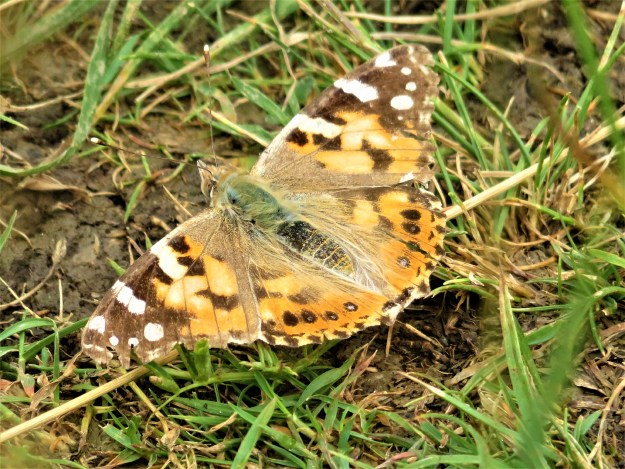 View of an orange butterfly with black, brownish and white markings resting on the ground