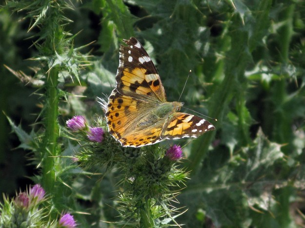 View of an orange butterfly with black and white markings perching on a thistle