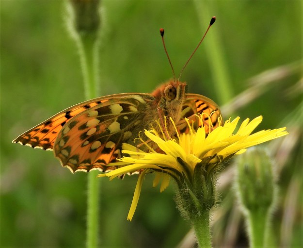 An orange butterfly with black markings resting on a yellow flower