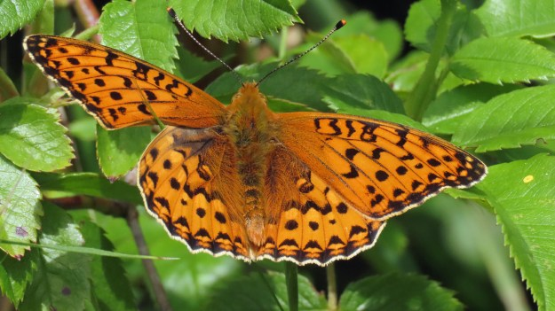 An orange butterfly with black markings resting on green leaves