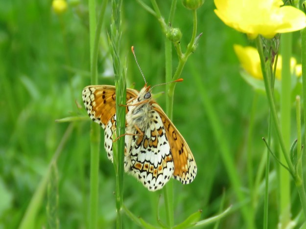 View of a creamy white butterfly with browny orange and black markings resting on a green plant stem