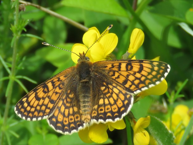 View of an orange butterfly with black markings and white fringe to the wings nectaring on a yellow flower