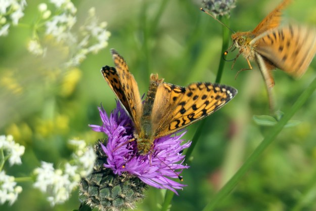 Two orange butterflies with black markings, one of them perched on a purple flower