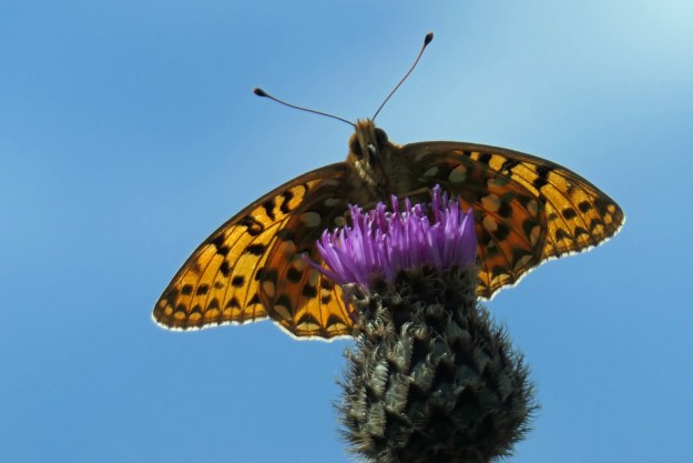 View of an orange butterfly with black markings perched on a purple flower