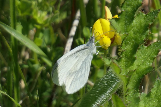 View of a white butterfly on a yellow flower