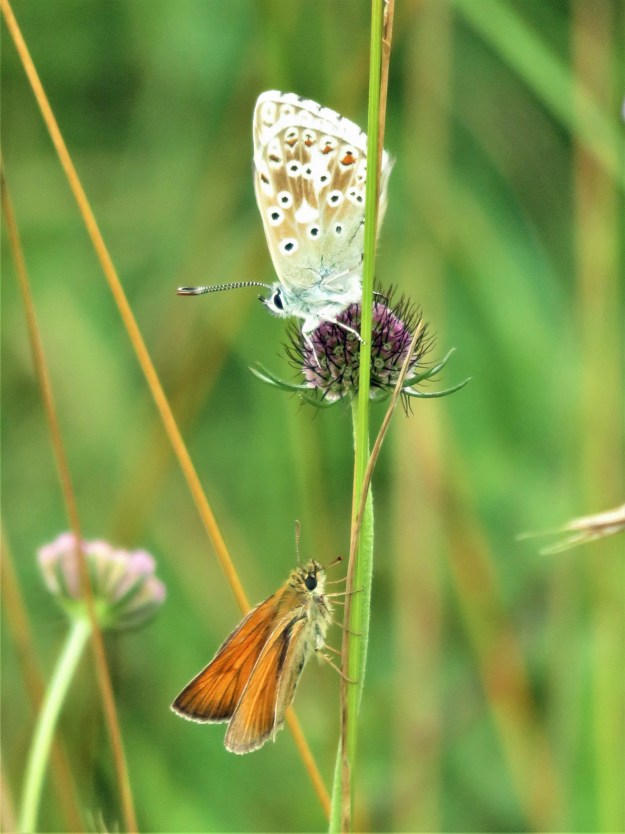 A view of two butterflies - one golden brown with some black markings and the other blue and pale brown with orange, black and white markings
