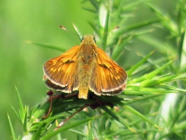 A golden brown butterfly resting on green vegetation