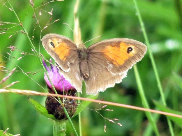 A brown and orange butterfly with black and white eyespots nectaring on a pink flower