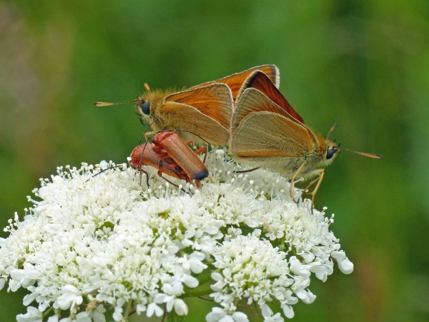A view of two brown and orange butterflies and two reddish coloured beetles on white flowers