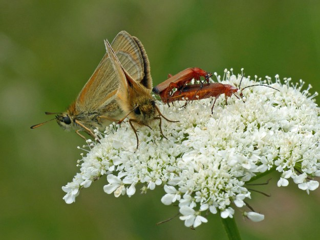A view of two brown and orange butterflies and two reddish beetles on white flowers