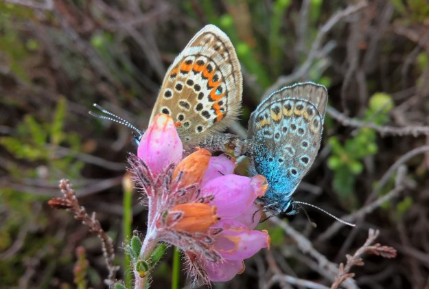 Two butterflies on a pink flower - one blue and grey with black, white and orange markings and the other pale brown with black, white and orange markings