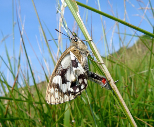 A view of a two white butterflies with black markings, one with some red mites attached to it