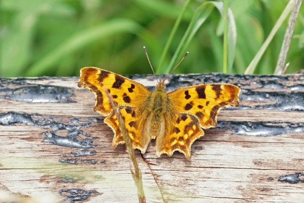 An orange butterfly with black markings resting on some timber