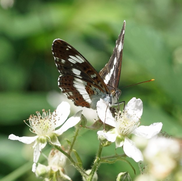A black and white butterfly with some orange markings nectaring on a white bramble flower