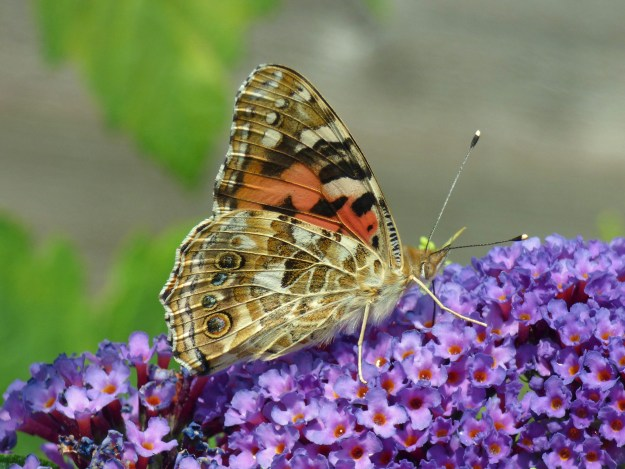A brown and orange butterfly with black and white markings nectaring on a purple buddleia flower