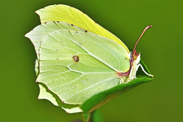 A greenish yellow butterfly with some brown markings