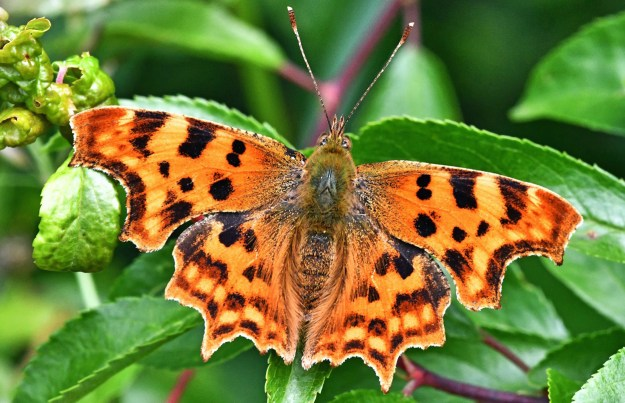 View of an orange butterfly with black and yellow markings resting on a green leaf